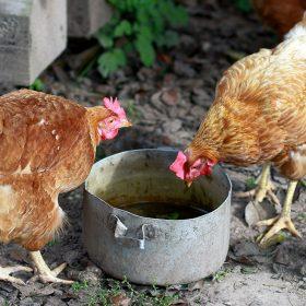 Pourquoi donner à Manger des Aliments Fermentés aux Poules ?